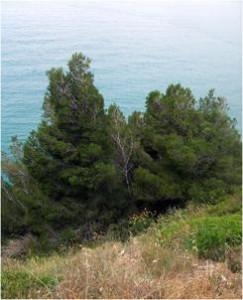 Pinushalepensis