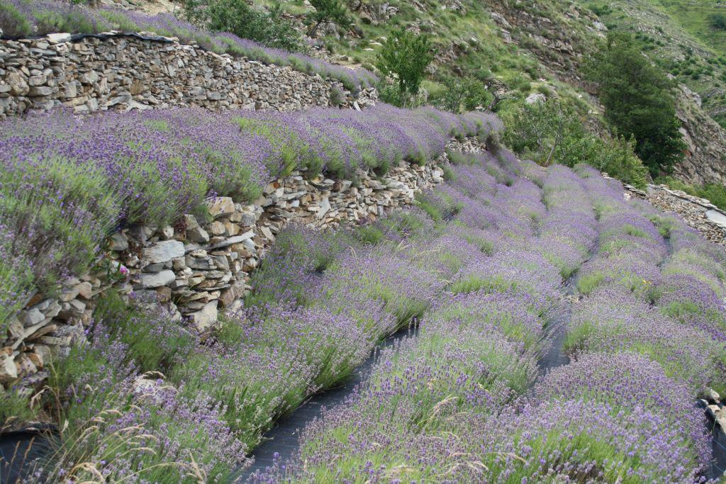 Valle del San Lorenzo, la lavanda