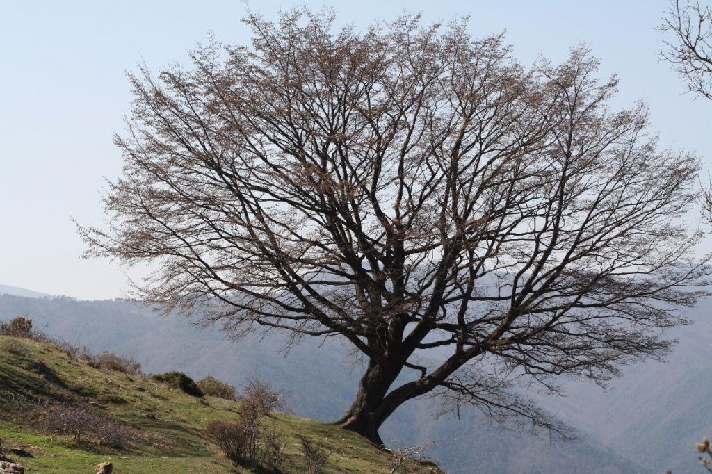 albero - carpenassu roverella