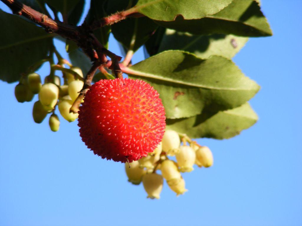 frutti - Corbezzolo